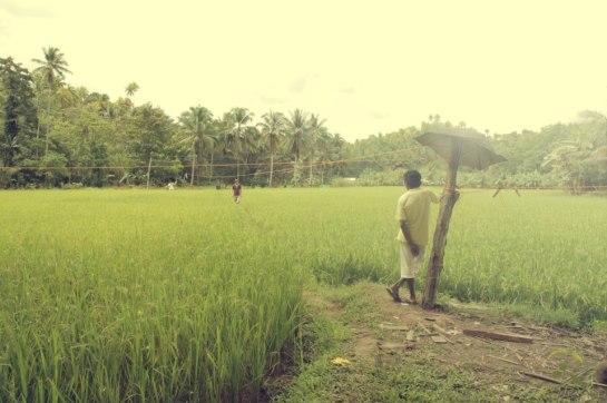 Rice Fields, Southern Mindanao